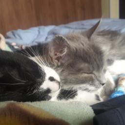 gatos negro blanco gris durmiendo pcpetsofpa