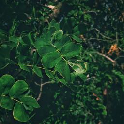 freetoedit tree nature green vegetation