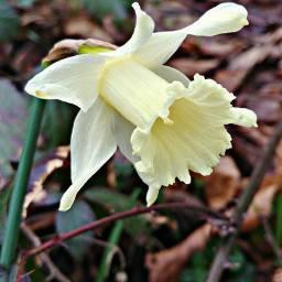 pcfromwhereistand fromwhereistand narcissus winterflowers wildflowers