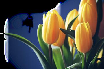 freetoedit sctulip tulip
