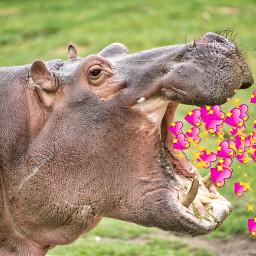 freetoedit hippo valentinesday love hearts