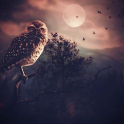 freetoedit owl moon birds nightsky