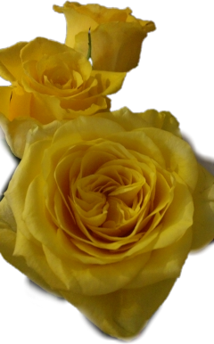 naturephotography yellowroses contestsubmission flower floral freetoedit scfloral