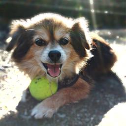 freetoedit favorite beloved tennisball woof pcmypetsfavtoy