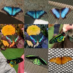 butterflywings butterflys