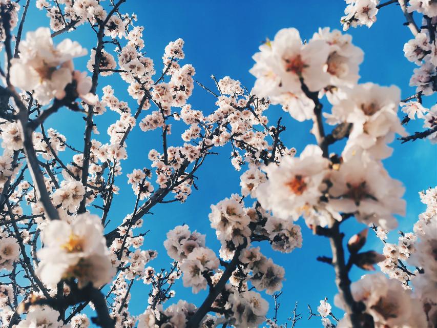 #freetoedit #photography #flowers #tree #sky #blue #spring #croatia #mediterranean #dalmatia