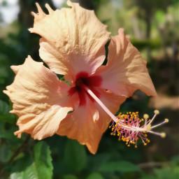 freetoedit flower gumamela