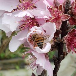 freetoedit peachblossom flowers bright inmyneighborhood