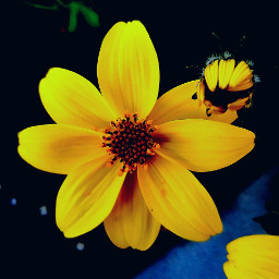 flor flower fotografia amarillo contrast eccolorsplasheffect pcintonature pcblackbackground pclookdown pctwohues twohues
