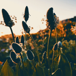 freetoedit pcthegoldenhour thegoldenhour spring flower