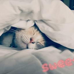 freetoedit catdreams sweetie irccatnap catnap