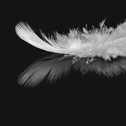 white reflection feather photography blackandwhite