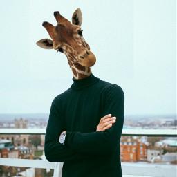 freetoedit picsart picoftheday jiraffe