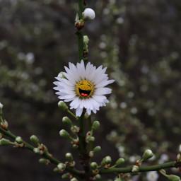 daisy flower flowerpower stickers happiness freetoedit