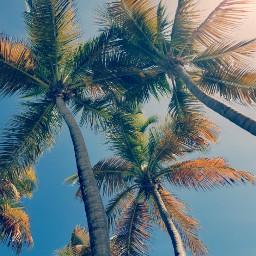 freetoedit pcpalmtrees palmtrees beach nature