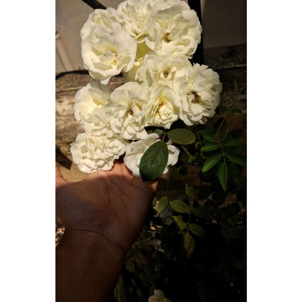 """"""" Lift your head up ... 💕🎶✨💫""""   #mornings #amazing #whiteroses #flower #focus #nofilter  #freetoedit  #gardening #myplants"""