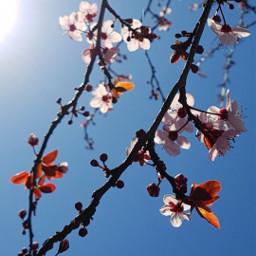 freetoedit pcspringishere spring tree blossom
