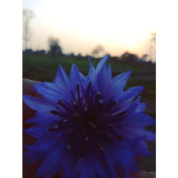 flowerphotography lovenature🌸🌱 eveningphotography purple sunset