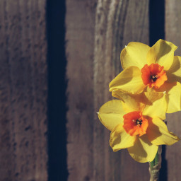 flower daffodils fence adjusttool outandabout freetoedit