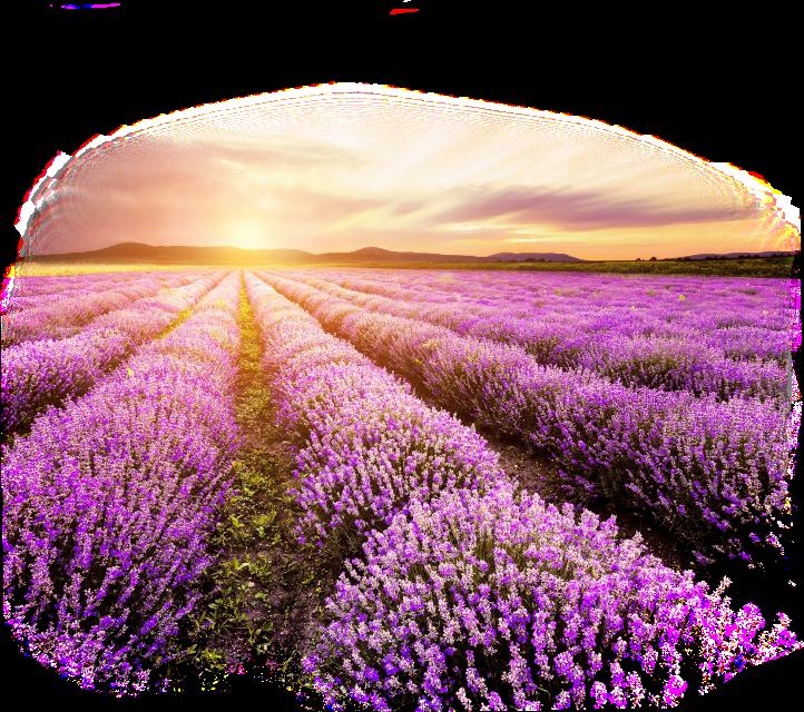 #lavender #feild #flowers #lanscape #sunset OP from Picsartist @ngocthuyp2 #sclavender