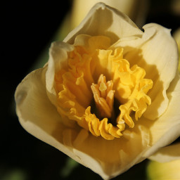 freetoedit yellow yellowflower flowers naturephotography