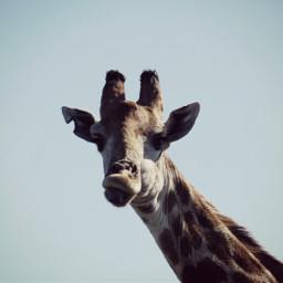 hideandseek travel southafrica giraffe smile
