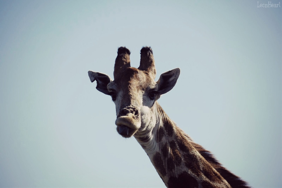 Found you...😉. #hideandseek #travel #southafrica #giraffe #smile