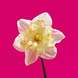 flower pink narcissus freetoedit