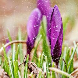springremix crocuses purpleflowers spiderwebmask dewdrops freetoedit