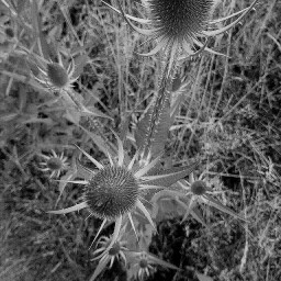 freetoedit blackandwhite myphoto distel naturephotography