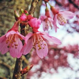 springblossoms pinkblossoms