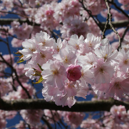 freetoedit cherryblossoms naturephotography nature photography