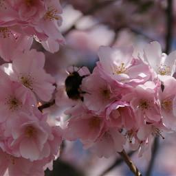 freetoedit cherryblossoms bumblebee naturephotography nature