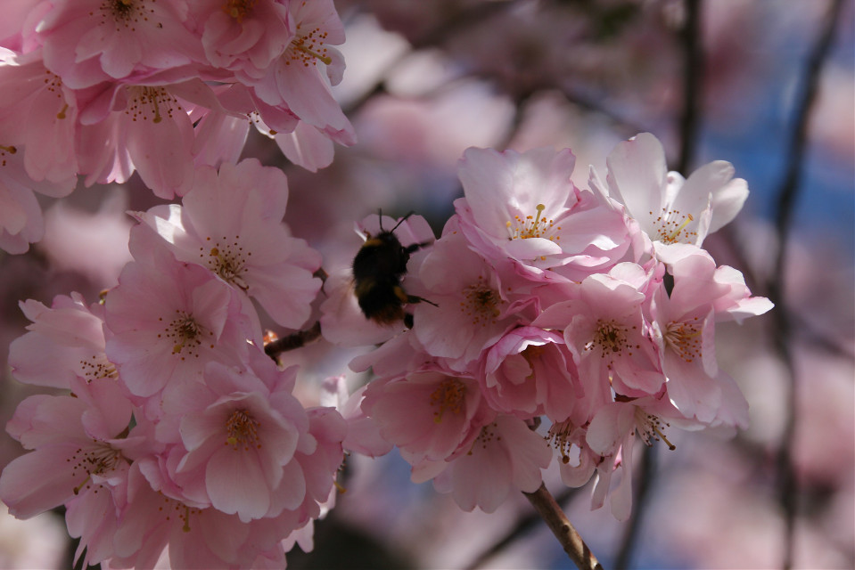...hurry up little bumblebee,it's windy today... Cherryblossoms by Iso100 1/250 andf10.0  #freetoedit #cherryblossoms #bumblebee #naturephotography #nature #photography #onmyway #mood #moody #rose