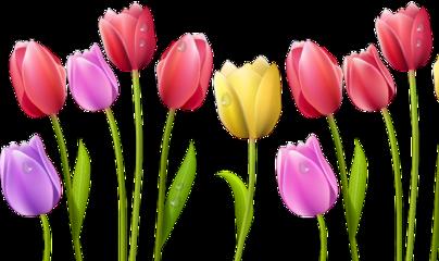 tulip flowers bright freetoedit