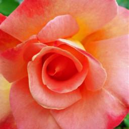 freetoedit rose springishere