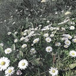 sketchereffect daisies nature myoriginalphoto myedit freetoedit