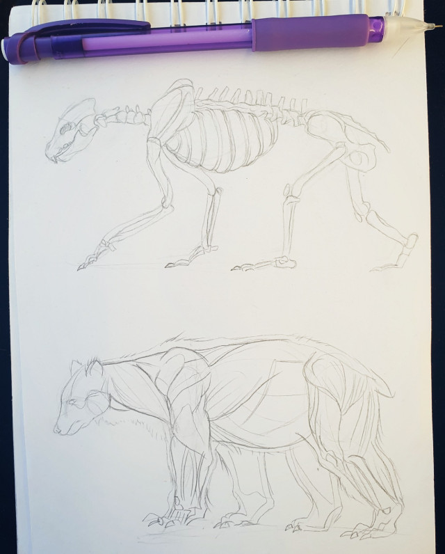 Bear studies for an upcoming project❤🐻 This is how i break down new animal studies. I start off by examining the skeletons layout and structure, this is how i get the bears overall form as well as capture the correct proportions. Then i move onto the muscles which help me see how the animal moves and functions.  Lastly i add in fat, fur and skin❤ #bear #animal #creature #sketch #study #skeleton #tradionalart #drawing #art #illustration  #freetoedit