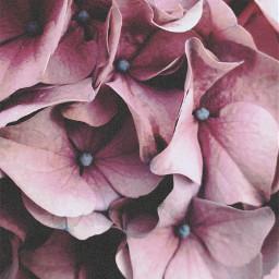 freetoedit photography hydrangeas pink beautiful