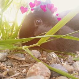 freetoedit bunny rabbit bunbun heartcrown