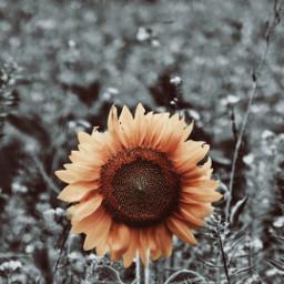 freetoedit sunflower colorsplash