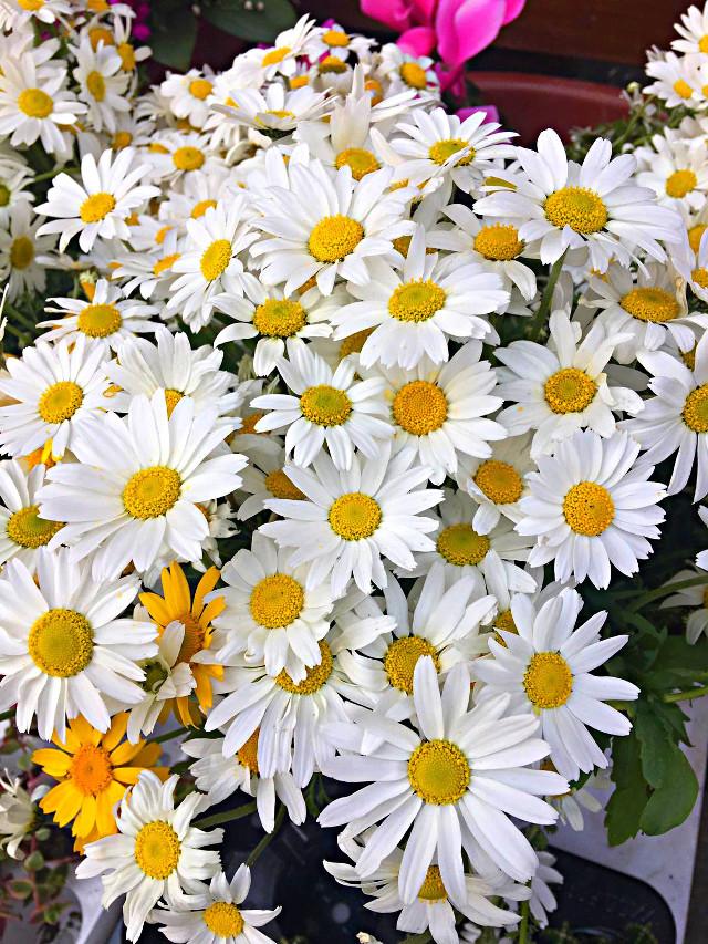 #freetoedit #daisy #yellow #spring #flover #like #love #edit #remix Papatya seven kadınları  sevin azizim...