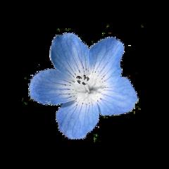 nemophila flower blue blueeyes freetoedit
