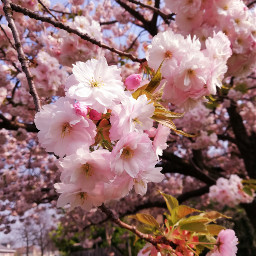 blossoms spring pink photography nofilter freetoedit