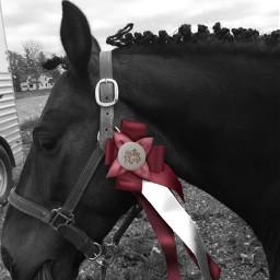 coloursplash red 1stplace ribbon horseshow freetoedit eccolorsplasheffect