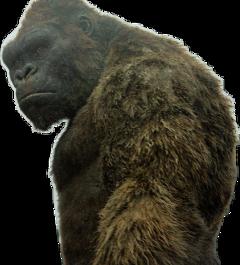 kong kingkong gorilla animal freetoedit