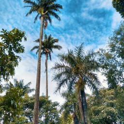 freetoedit palmtree palm tree nature