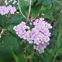heartsisee heart flower yarrow today freetoedit