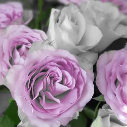 freetoedit creatingwitholga roses roseflower eccolorsplasheffect