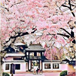 freetoedit flores cerezos sakura japon ircblossoming